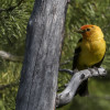 Western Tanager Photo Credit: Jake Bramante