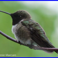 Black-chinned Hummingbird - Photo Credit: Jeannie Marcure
